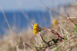 Coltsfoot (Tussilago farfara)